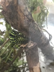 Black Swallowtail Caterpillar and Chrysalis in habitat.