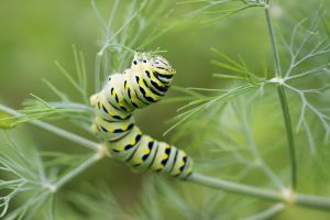 Swallowtail butterfly caterpillar. Photo by Andrew Claypool on Unsplash.
