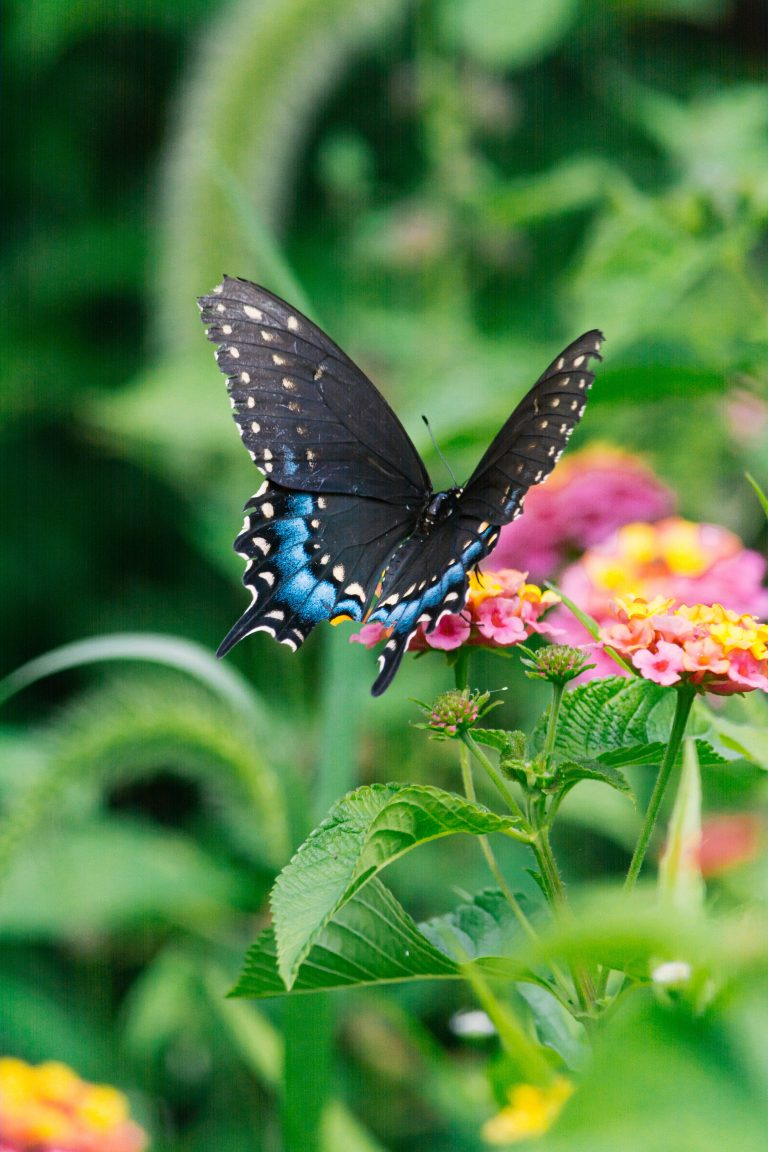 Black Swallowtail Butterfly on a flower. Photo by Gayatri Malhotra on Unsplash.